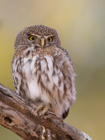 Pearl-spotted Owlet,
