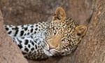 Young Leopard in tre