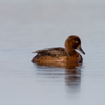 Female Tufted Duck i
