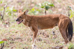 The elusive Dhole or
