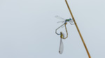 Emerald damselfly ma