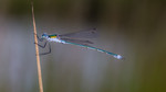 Damselflies & other