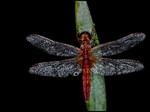fire dragonfly (male