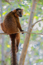 Common brown lemur (