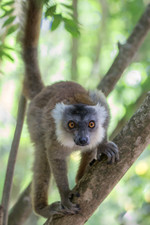 Black lemur; female