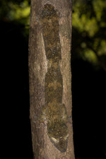 Leaf-tailed gecko (e