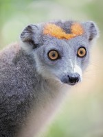 Crowned lemur; femal