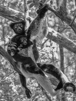 Indri; the largest a