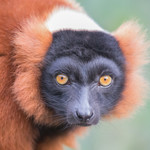 Red ruffed lemur (en